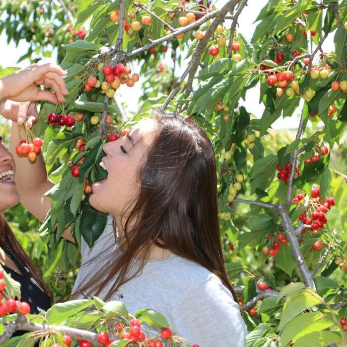 A Druze Culinary Experience: Cherries in the Golan Heights