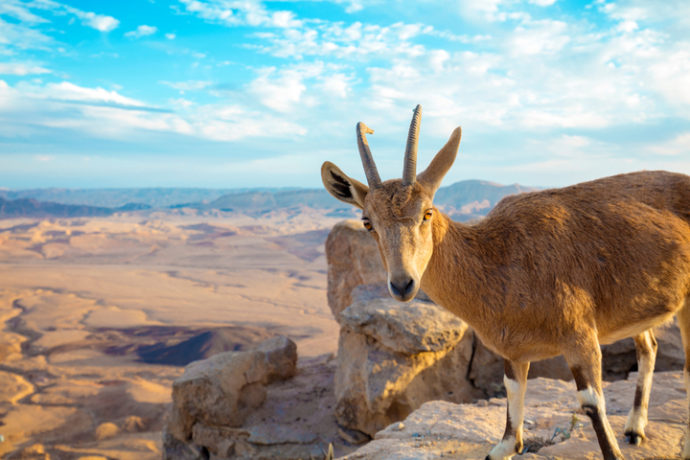 The Ibex stares at the camera at the edge of the Makhtesh Ramon crater
